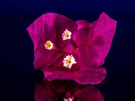 nome de flor brasileira