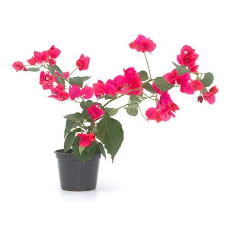 tipo de flor brasileira