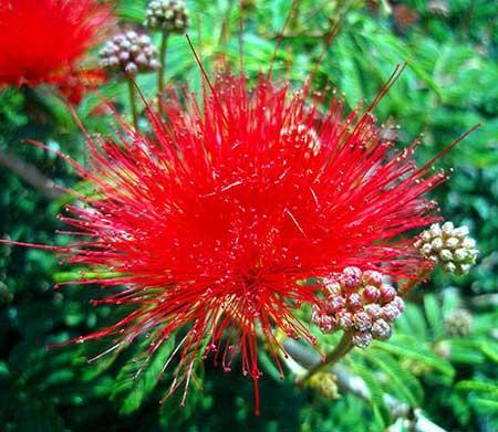 fotos de flores brasileiras