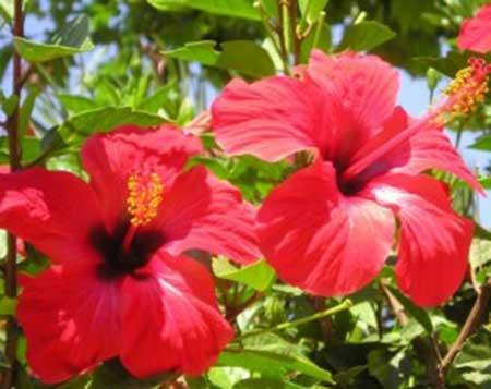 tipos de flores comestíveis