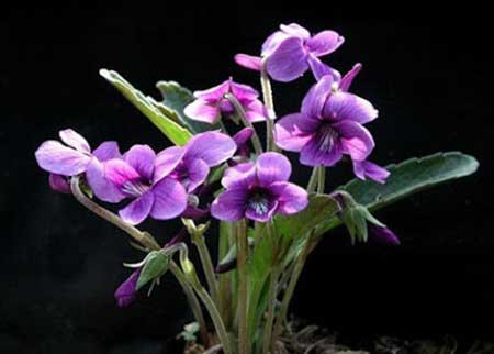 flor para comer