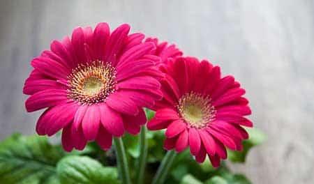 Flor Gérbera