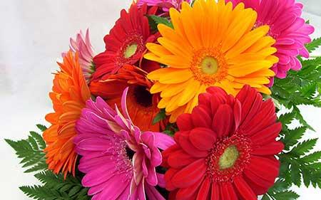 Flor Gérbera em Fotos