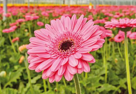 flores gérberas