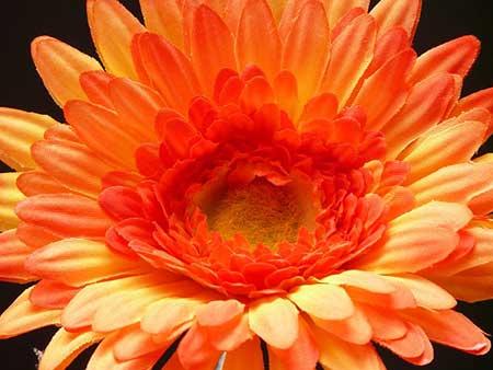 fotos de flores gérberas
