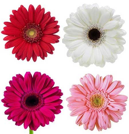 imagens de flores gérberas