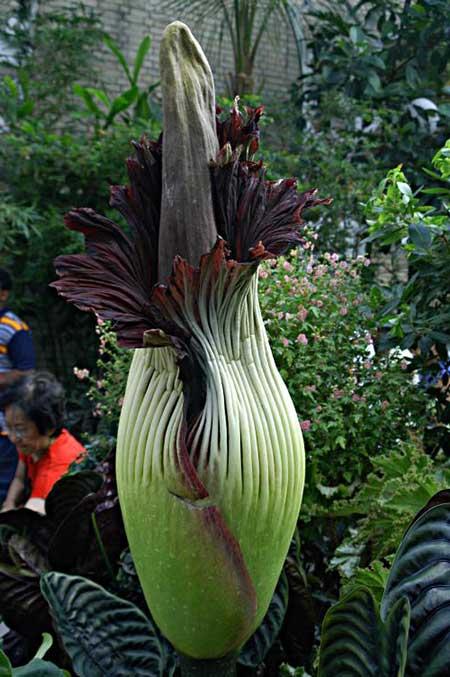 flores do jardim botanico:Flor-Cadáver: Fotos, Vídeo, Imagens, Jardim Botânico