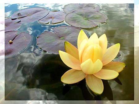 Resultado de imagem para flor de lotus maravilhosa