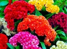 Flor Crista de Galo