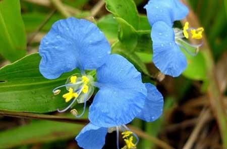 Foto de Flor Azul