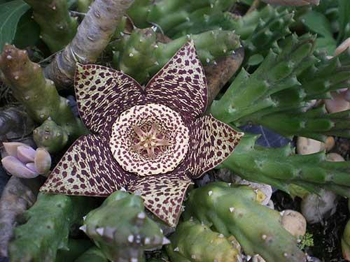 flor em formato de cacto estrela