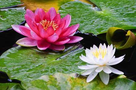 Significado de Flor de Lótus