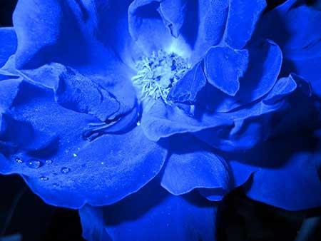 dicas de flores azuis