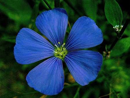 imagens de flores azuis