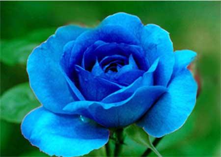fotos de flores azuis