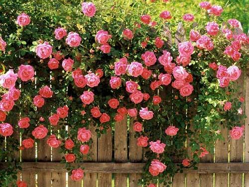 Dicas de Como Cultivar Rosas em Jardins, Vasos, Quintal