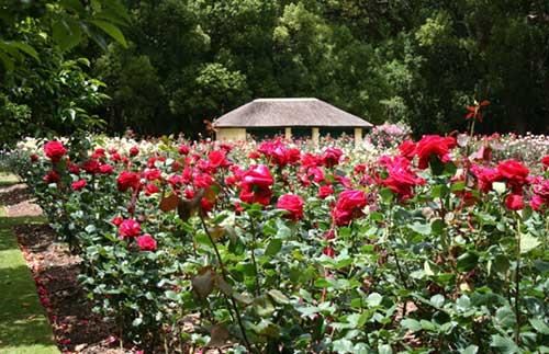 cultivo rosas jardim:Dicas de Como Cultivar Rosas em Jardins, Vasos, Quintal