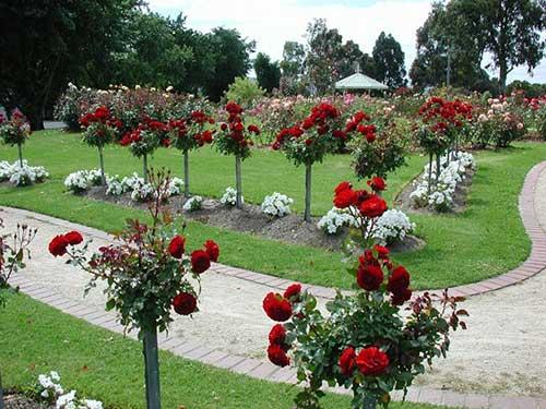 7 dicas de como cultivar rosas em jardins vasos quintal - Inmobiliarias en villagarcia de arosa ...