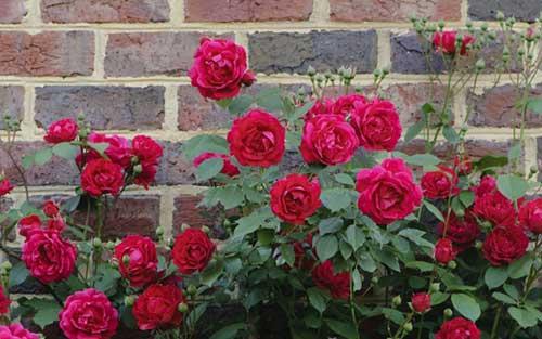 jardins rosas vermelhas:rosas vermelhas1