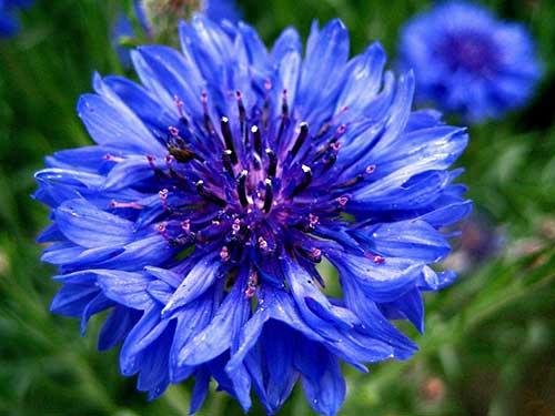 flores liláses