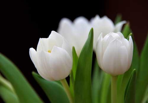 dicas de tulipas