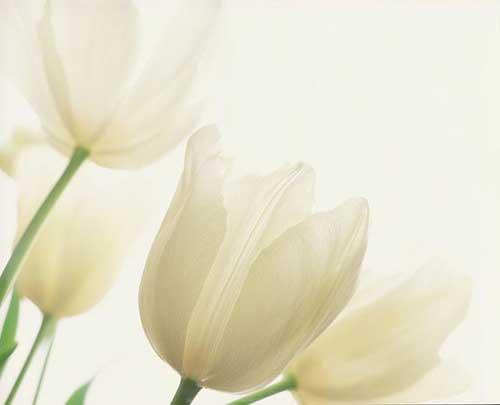 imagens de tulipas