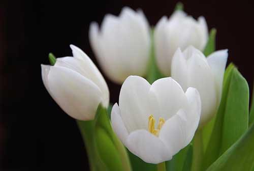 fotos de tulipas