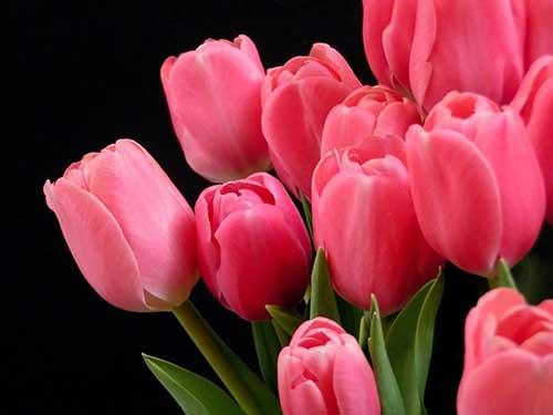 rosa vibrante