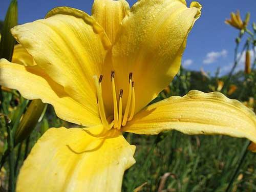 flor lírios
