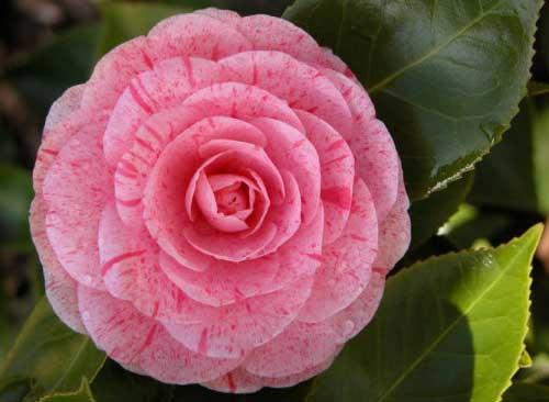 cor rosa