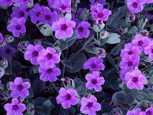 Resultado de imagem para imagens de violetas