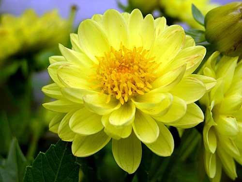 Tudo Sobre Flor Camélia