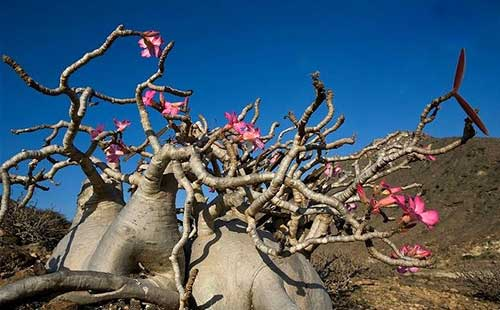 Como Cultivar Flor Do Deserto Fotos Dicas Informações