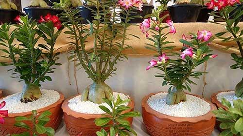 cultivada em vasos