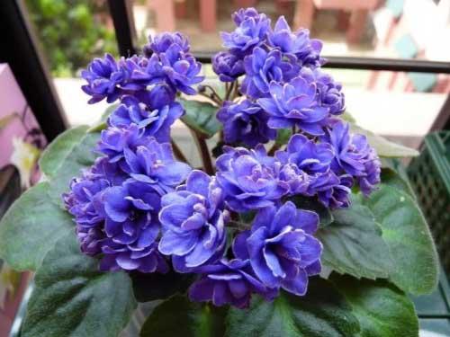 Resultado de imagem para violetas dobradas