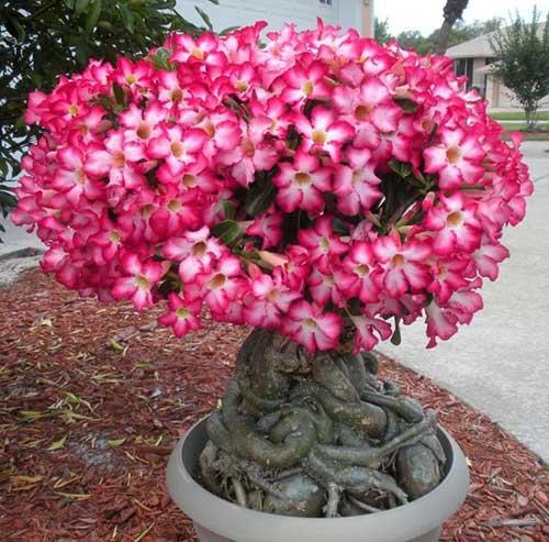 flores do deserto em vaso