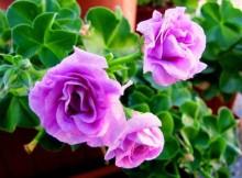 cultivar violetas
