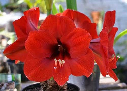 flor amarilis vermelha