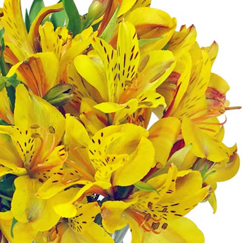 flor astromélias