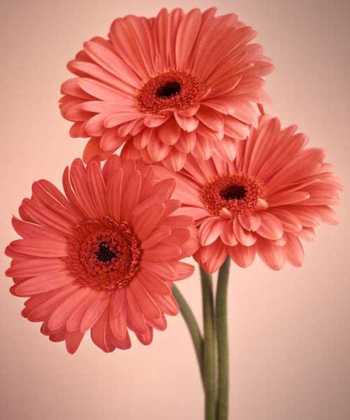 flor gérberas