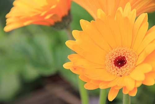 fotos de flores gérbera