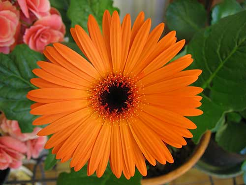 flores gérbera