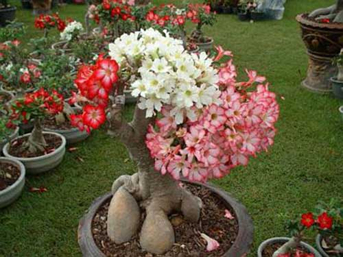Flor Rosa do Deserto