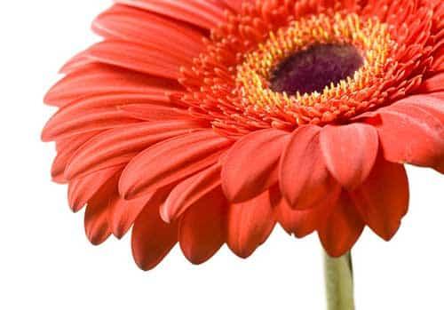 imagens de flores gérbera