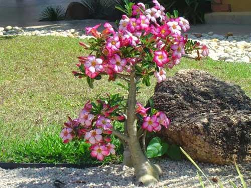 Fotos de Flor Rosa do Deserto