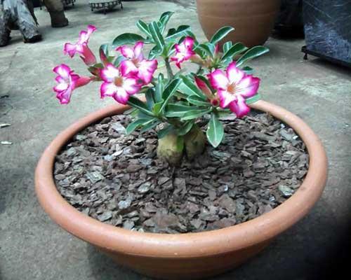 Imagens de Flor Rosa do Deserto