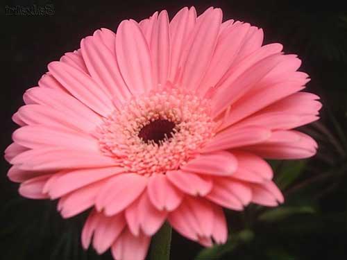 imagens da flor
