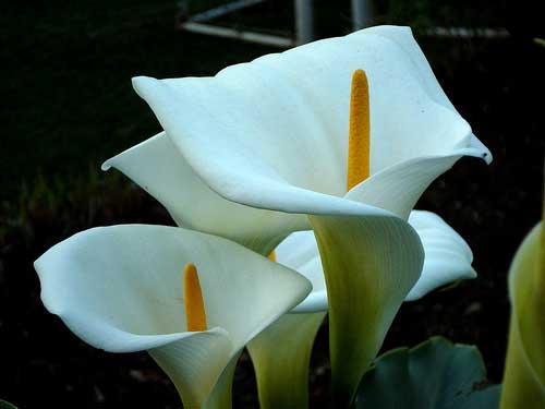 Fotos de flores para jardins