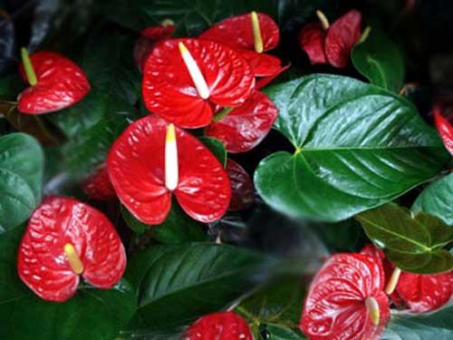Flores que Gostam de Sombra