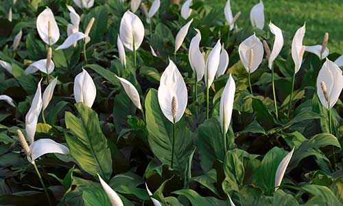 7 flores que gostam de sombra ou meia sombra for Plantas para dentro de casa sombra